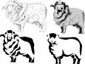 Merino sheep stylized black and white illustration Stock Images