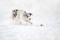 Merle border collie dog running fast to catch toy winter Royalty Free Stock Photo