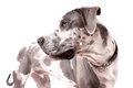 Merle Great Dane Royalty Free Stock Photography