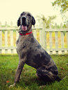 Merle Great Dane Stock Photography