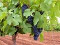 Merlot Grapes Royalty Free Stock Photo