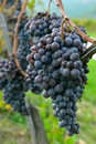 Merlot grapes on the vine Royalty Free Stock Photography