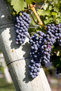 Merlot Grapes in Vineyard Stock Image