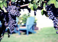 Merlot Grapes in Vineyard Royalty Free Stock Images