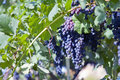 Merlot Grapes in Vineyard Stock Photography