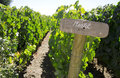 Merlot sign in the vineyard Stock Photography