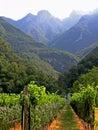 Merlot  vineyard perspective Royalty Free Stock Photos