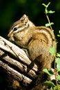 Merriam's Chipmunk Royalty Free Stock Photo