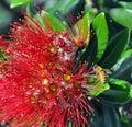 Merry Christmas From New Zealand - Pohutukawa & Bee
