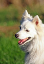 Merry japanese spitz dog outdoor portrait of a looking healthy and alert Stock Photography