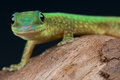 Mertens Day gecko Stock Image