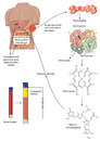 Metabolism and breakdown of red blood cells into bilirubin amino acids Stock Image