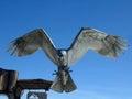 Metal Falcon