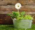 Metal flowerpot with a single white daisy low angle view of an old near wooden wall Stock Images