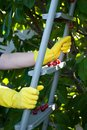 Metal ladder stepladder steps hold hands in yellow rubber gloves, spring harvest work, tree ripe red berries of a sweet cherry Royalty Free Stock Photo
