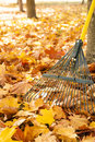 Metal rake, tree trunks and pile of bright yellow maple leaves in autumn Royalty Free Stock Photo