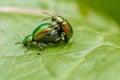 Metallic green beetles mating
