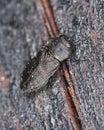 Metallic wood-boring beetle on wood Royalty Free Stock Images