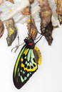 Metamorphosis - Common Birdwing Butterfly Royalty Free Stock Image