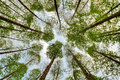 Metasequoia forest Royalty Free Stock Photo