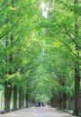Metasequoia forest road Royalty Free Stock Photo
