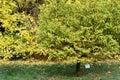 Metasequoia glyptostroboides at botanical garden Royalty Free Stock Photo