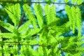 Metasequoia glyptostroboides Royalty Free Stock Photo