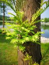 Metasequoia glyptostroboides Royalty Free Stock Photo