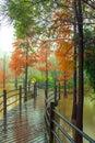 Metasequoia Royalty Free Stock Photo