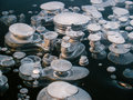 Methane bubbles in ice bubble the a of a freshly frozen paezeriai lake lithuania Royalty Free Stock Images