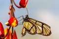 Metona Grandiosa Transparent Butterfly Royalty Free Stock Photo