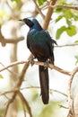 Meve s longtailed starling okavango delta moremi n p in national park in botswana Royalty Free Stock Image