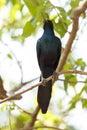 Meve s longtailed starling okavango delta moremi n p in national park in botswana Stock Image