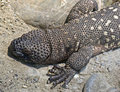 Mexican beaded lizard 6 Royalty Free Stock Images