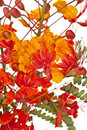 Mexican Bird of Paradise (Caesalpinia   pulcherrim Royalty Free Stock Photos