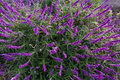 Mexican bush sage flowers in purple shade in the garden in Tasma Royalty Free Stock Photo