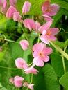Mexican creeper from thailand central of antigonon leptopus family polygonaceae Royalty Free Stock Photo