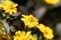 Mexican creeping zinnia Sanvitalia procubens Royalty Free Stock Photo
