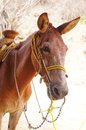 Mexican donkey Royalty Free Stock Photo