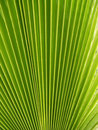 Mexican Fan Palm Stock Photography