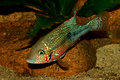 Mexican Fire Mouth (Thorichthys ellioti) Stock Photo