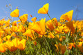 MeXican Gold Poppies Stock Images