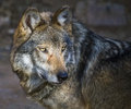Mexican gray wolf Canis lupus baileyi Royalty Free Stock Photo