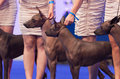 Mexican hairless dog july th paris france group of dogs in the show ring at the world show Royalty Free Stock Photos