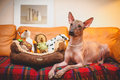 Mexican hairless dog lying on the couch with toys Royalty Free Stock Photos