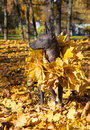 Mexican hairless xoloitzcuintle dog portrait of in autumn park Royalty Free Stock Photo