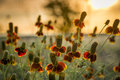 Mexican hat wildflowers bathed in early morning texas sunshine Royalty Free Stock Photo