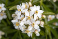 Mexican Orange Blossom white flowers Royalty Free Stock Photo