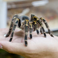 Mexican redknee tarantula (Brachypelma smithi), spider female in Royalty Free Stock Photo