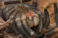 Mexican redknee tarantula shedding it`s skin, Brachypelma smithi Royalty Free Stock Photo